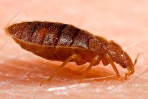 Adult Bed Bug drinking blood