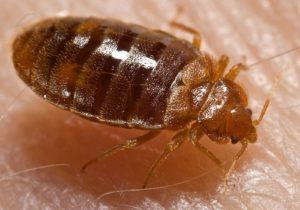 Bedbug - Cimex lectularius