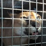 Wild felines rescued by Mirzapur forest department may be from rare and protected Carcal species