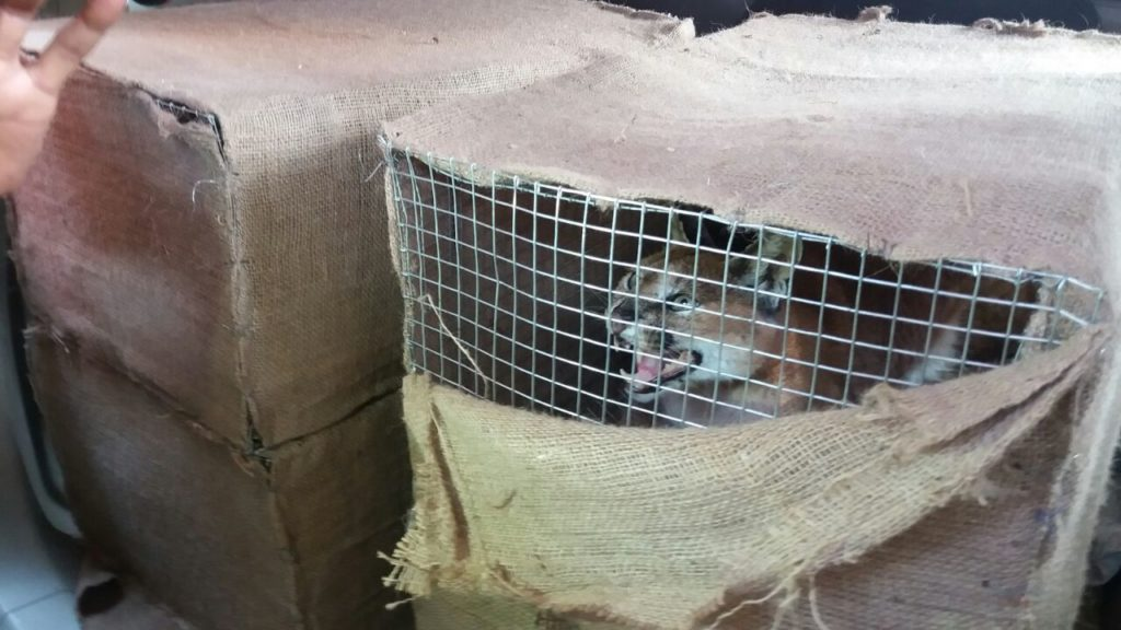 Wild felines rescued by Mirzapur forest department may be from rare and protected Carcal species 2