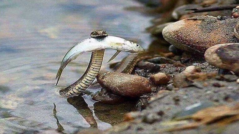 brave-snake-fish