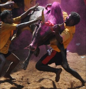Jallikattu is not bullfighting – it needs its own debate