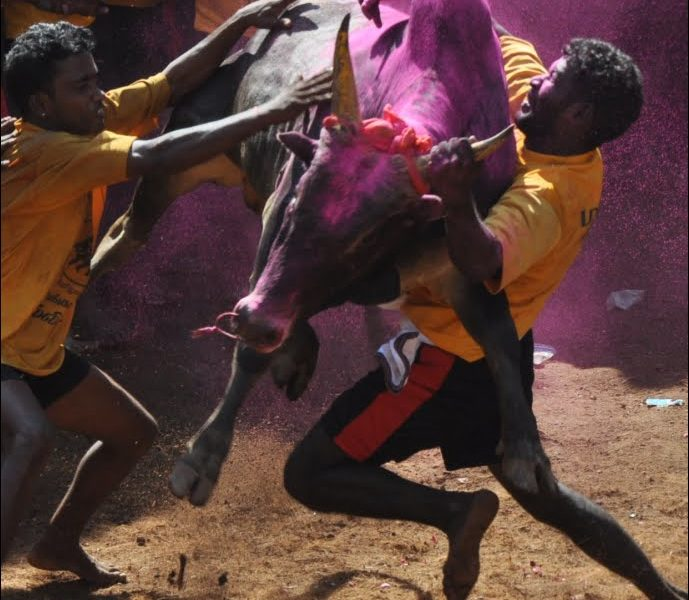 Bull taming at jallikattu, Allangur, India