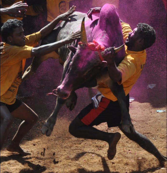 Bull taming at jallikattu, Allangur, India
