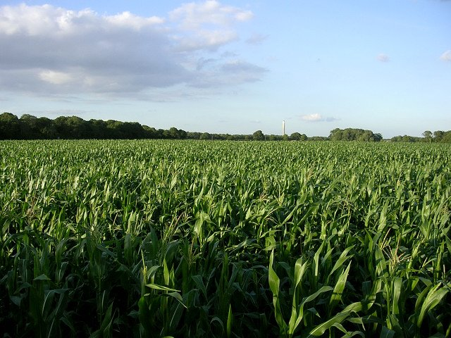 Green field with maize crop