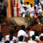Some absurd arguments in favor of Jallikattu ban