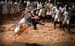 A youth hanging onto a bull during jallikattu.